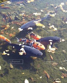 鯉の写真・画像素材[1909734]