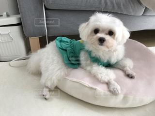 小さな白い犬の写真・画像素材[2372823]