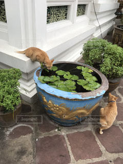 ブロッコリーのまな板の上に座っている猫の写真・画像素材[2409530]