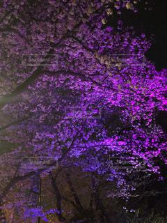 夜桜ピンクの写真・画像素材[1943850]