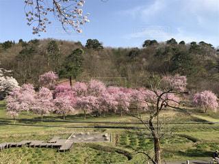 山のしだれ桜並木の写真・画像素材[2047626]