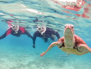 ウミガメと泳ぐの写真・画像素材[1910958]