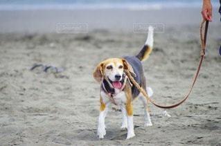 犬の写真・画像素材[109528]