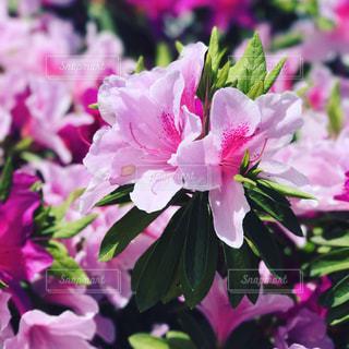 ツツジの春の写真・画像素材[1910500]