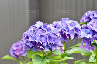 紫の写真・画像素材[587146]