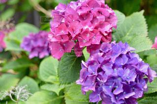 紫の写真・画像素材[587147]