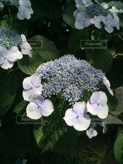 紫陽花 - No.73457