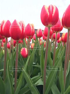 ピンクの花のグループ - No.737694