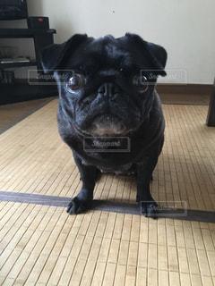 私の愛犬の黒パグの写真・画像素材[1913595]