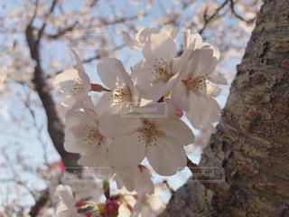 桜の写真・画像素材[1967258]