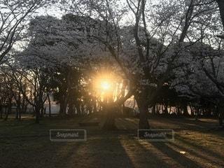 太陽と桜の写真・画像素材[2031137]