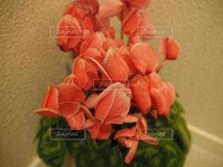 シクラメンの花の写真・画像素材[1931721]