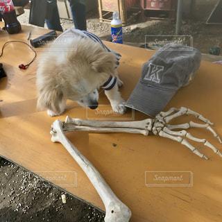 ホネを食べるか迷う犬の写真・画像素材[1925140]