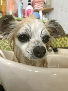 絶望を噛みしめる犬の写真・画像素材[1925854]