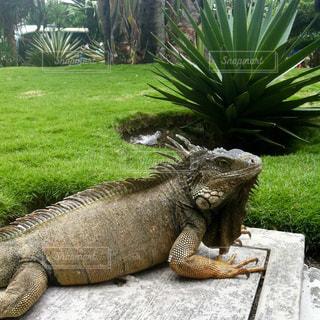 エクアドルのイグアナが放し飼いの公園の写真・画像素材[2046422]