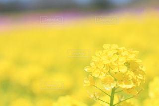 菜の花畑の写真・画像素材[2033527]