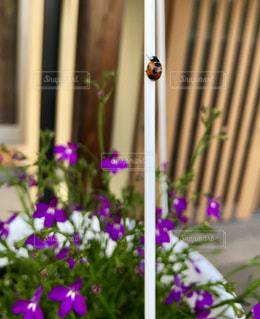 玄関先のお花にてんとう虫のお客さまの写真・画像素材[2141751]