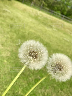 たんぽぽの綿毛の写真・画像素材[2164624]