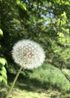 たんぽぽの綿毛の写真・画像素材[2164628]