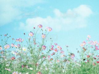 風に踊る秋桜の写真・画像素材[811819]