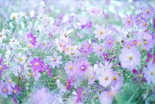 秋桜畑の写真・画像素材[811823]