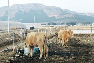 阿蘇の牛の写真・画像素材[968517]