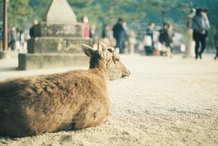 宮島の鹿の写真・画像素材[1620291]
