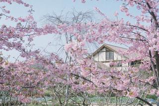 桜の写真・画像素材[1835587]