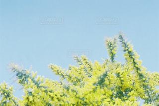 ミモザと青空の写真・画像素材[1835589]