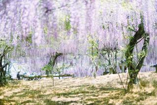 藤の花の写真・画像素材[1840058]