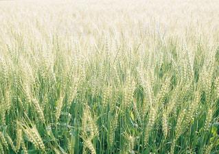 麦の写真・画像素材[3218234]