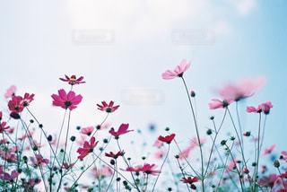 ピンクのコスモスの写真・画像素材[3218249]