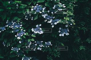 額紫陽花の写真・画像素材[3218286]