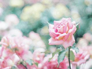 バラの花の写真・画像素材[3218314]