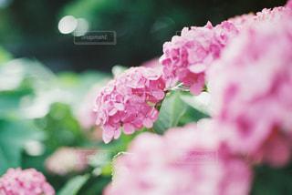 紫陽花の写真・画像素材[3218316]