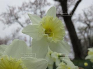 水仙の花の写真・画像素材[1923726]