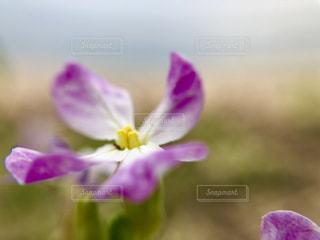 紫色の花の写真・画像素材[2187113]