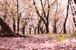 桜の写真・画像素材[1922153]