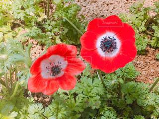 赤いアネモネの花の写真・画像素材[1918442]