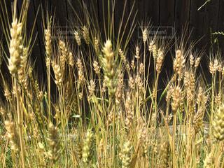 麦の写真・画像素材[708741]