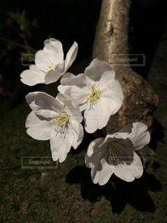 夜桜花びらズームの写真・画像素材[1986298]