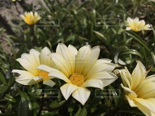 植物の黄色い花の写真・画像素材[1921892]