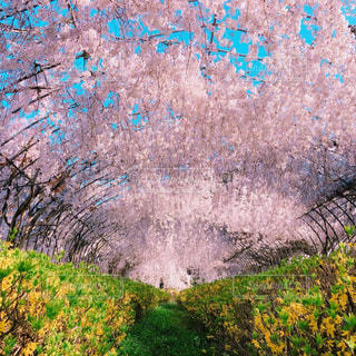 桜の写真・画像素材[1964490]
