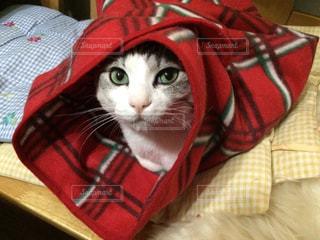 赤いブランケットをかぶっている猫の写真・画像素材[1932851]