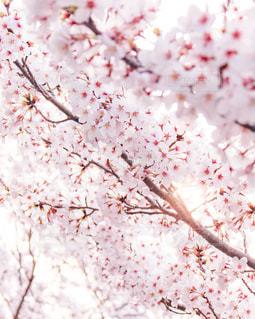 桜 - spring -の写真・画像素材[1996199]