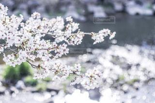春の川辺の写真・画像素材[2148561]