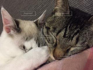 白い背景の上に横たわる猫の写真・画像素材[1923415]