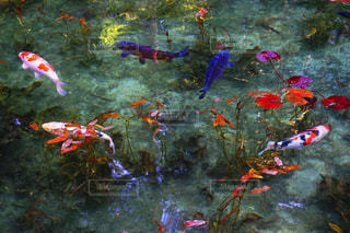 モネの池の写真・画像素材[2100298]