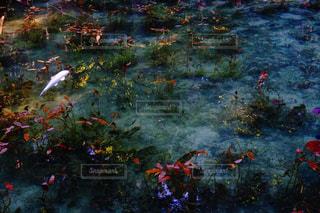 モネの池の写真・画像素材[2100301]