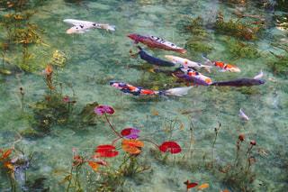 モネの池の写真・画像素材[2100305]